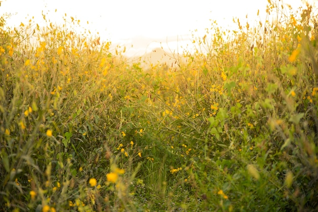Belles fleurs jaunes de sunhemp sur le millésime