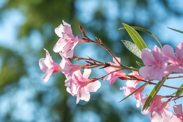 Belles fleurs de lauriers roses nerium sur une belle journée d'été