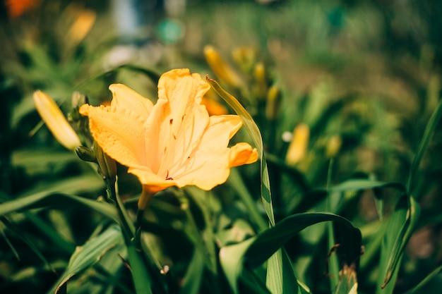 Belles fleurs de lilium jaune contre des feuilles vertes fraîches