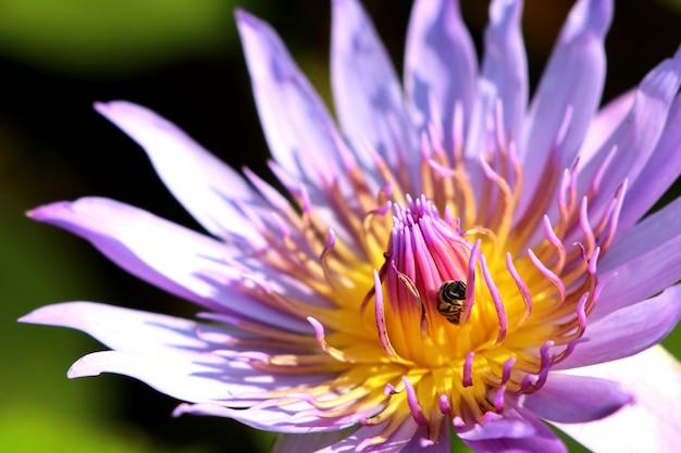Belles fleurs de lotus en tropical