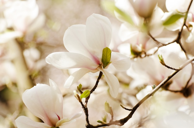 Belles fleurs de magnolia au printemps. fleur de magnolia blanc contre la lumière du coucher du soleil.