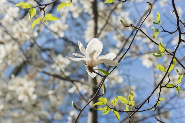 De belles fleurs de magnolia au printemps. fleur de magnolia jentle contre la lumière du coucher du soleil. fond floral tonique créatif romantique.