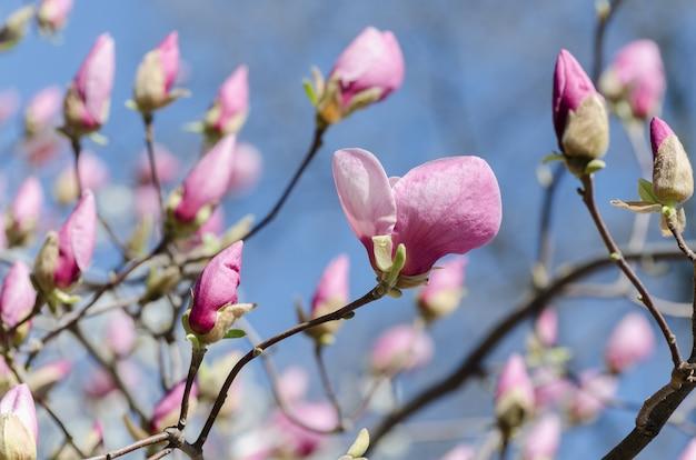 Belles fleurs de magnolia au printemps. fleur de magnolia jentle contre la lumière du coucher du soleil.