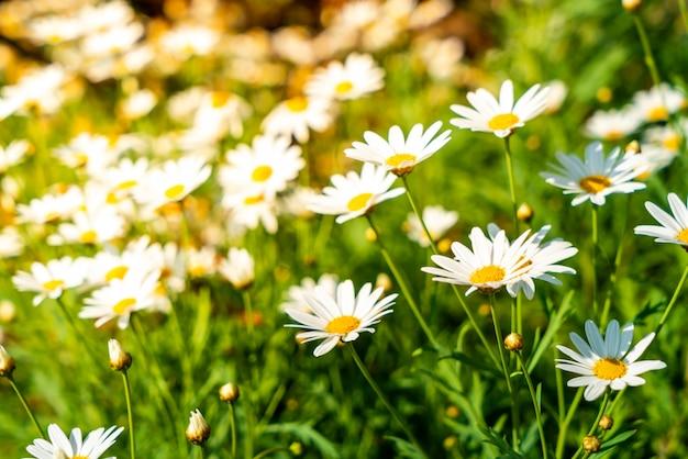 Belles fleurs de marguerite
