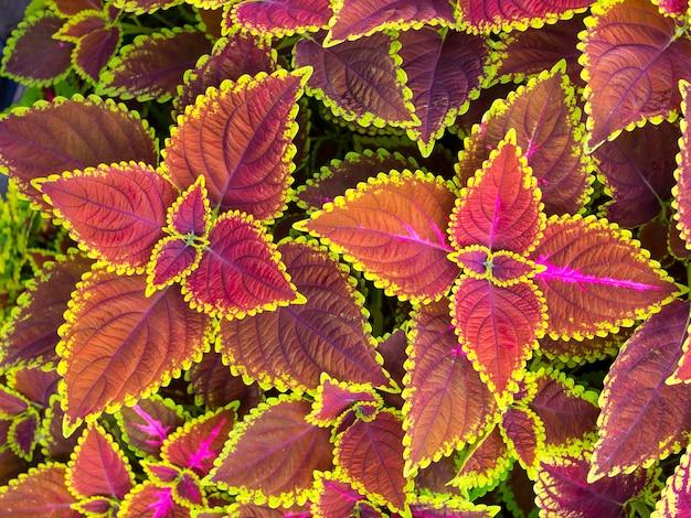 Belles fleurs de noël, poinsettias avec fond de feuilles vertes et roses. vue de dessus