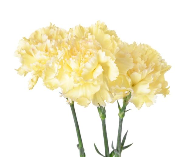 Belles fleurs d'oeillets sur blanc