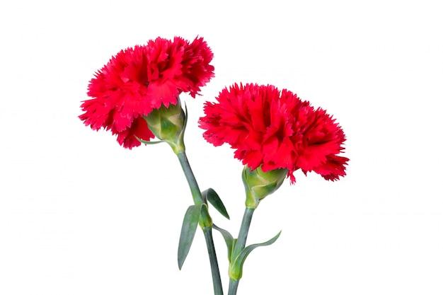 Belles fleurs d'oeillets rouges
