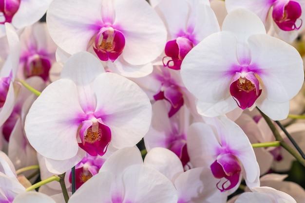 Belles fleurs d'orchidée magenta.