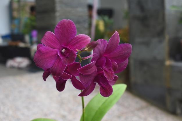 Belles fleurs d'orchidée pourpre foncé avec des feuilles vertes orchidaceae phalaenopsis ou moth orchid