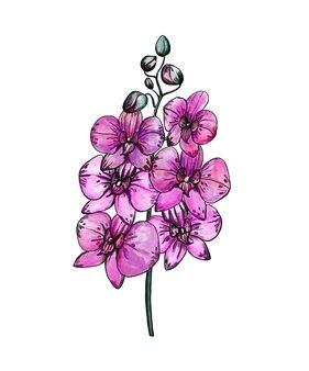 Belles fleurs d'orchidées phalaenopsis magenta