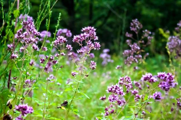 Belles fleurs d'origan sur un pré