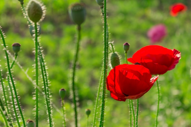Belles fleurs de pavot écarlates rouges dans un champ vert. paysage coucher de soleil d'été. pétales fragiles