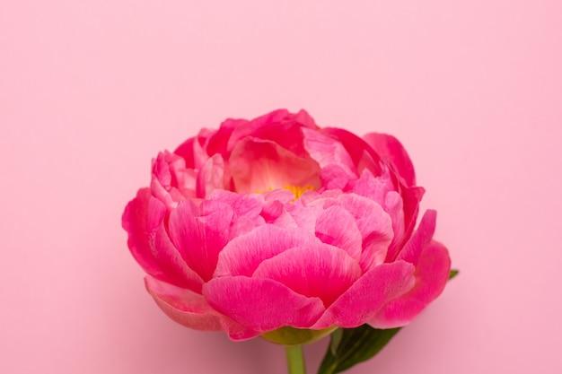 Belles fleurs de pivoine rose sur rose pastel