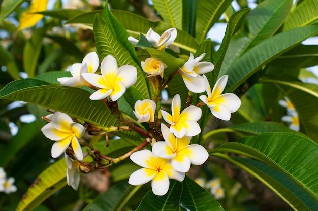 Belles fleurs de plumeria sur l'arbre dans le parc