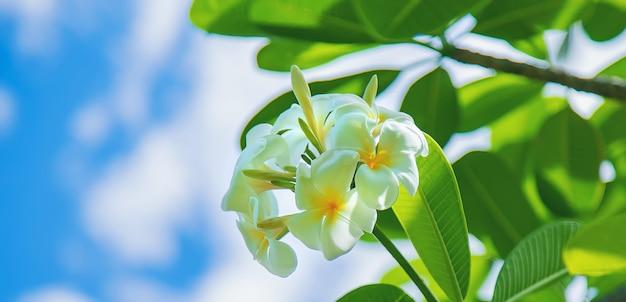 Belles fleurs de plumeria blanches sur un arbre.