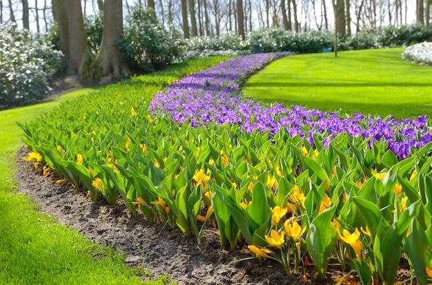 Belles fleurs printanières colorées dans le parc aux pays-bas