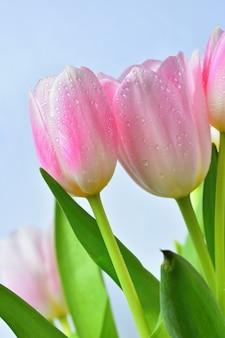 Belles fleurs printanières délicates - tulipes roses. couleurs pastel et isolé sur un fond pur. cl