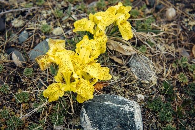 Belles fleurs printanières jaune vif, gros plan. abstrait de la plante.