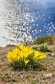 Belles fleurs printanières jaunes crocus sur le mur d'eau