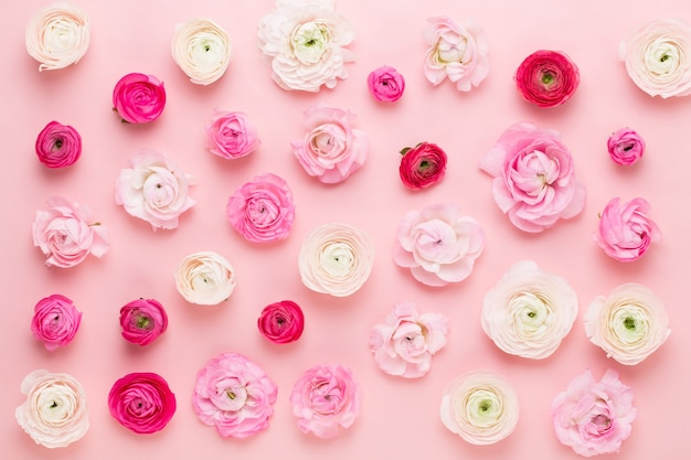 Belles fleurs de renoncules colorées sur fond rose. carte de voeux de printemps.