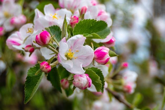 Belles fleurs de rhododendron rose dans le parc