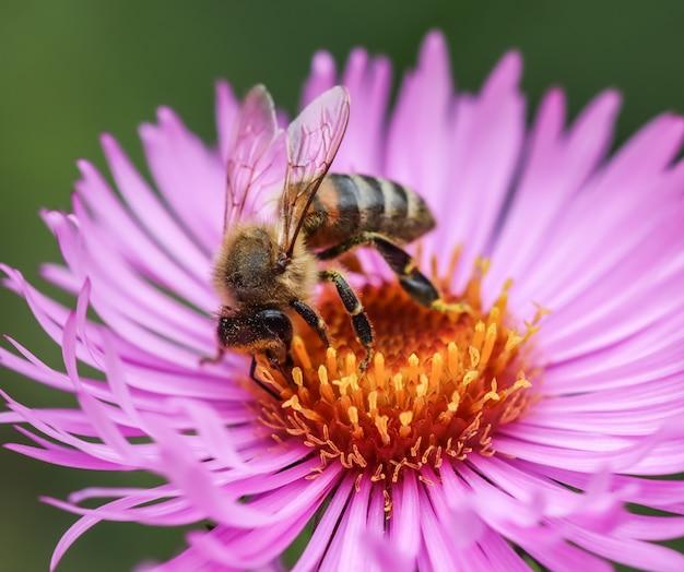 Belles fleurs roses d'aster d'automne avec une abeille dans le jardin