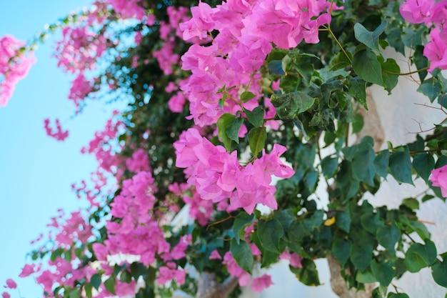 Belles fleurs roses sur un buisson, fond, beauté, nature.