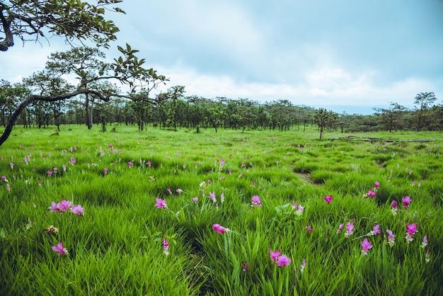 Belles fleurs roses curcuma sessilis fleurissent dans la forêt tropicale, au parc national de pa hin ngam, province de chaiyaphum, thaïlande