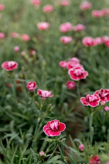 Belles fleurs roses dans l'herbe