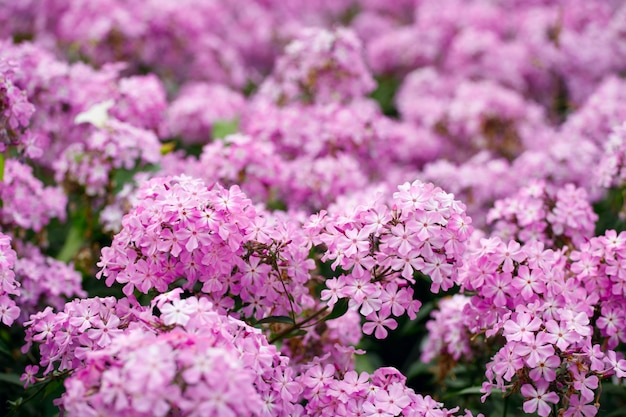 Belles fleurs roses d'hortensia dans le jardin