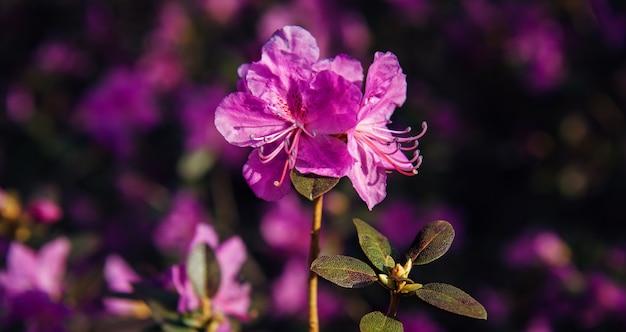 Belles fleurs roses pourpres printanières sur fond flou sombre au soleil. macro florale