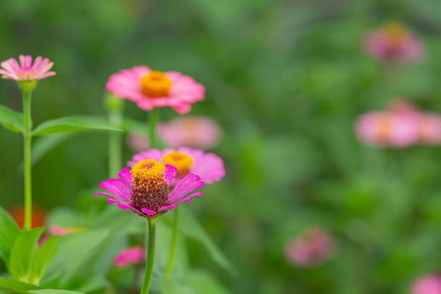 Belles fleurs roses qui fleurissent dans la nature
