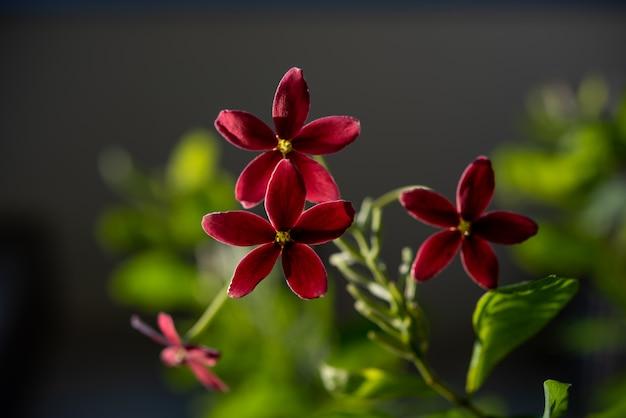 Belles fleurs roses et rouges de rangoon creeper dans un jardin extérieur