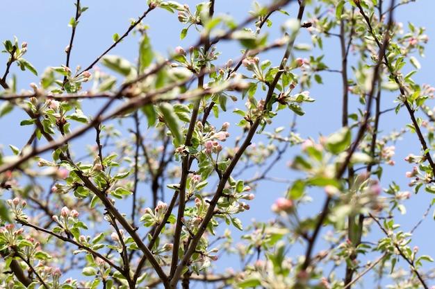 Belles fleurs rouges et bourgeons fermés avec des pétales rouges d'un arbre fruitier de pommier, gros plan