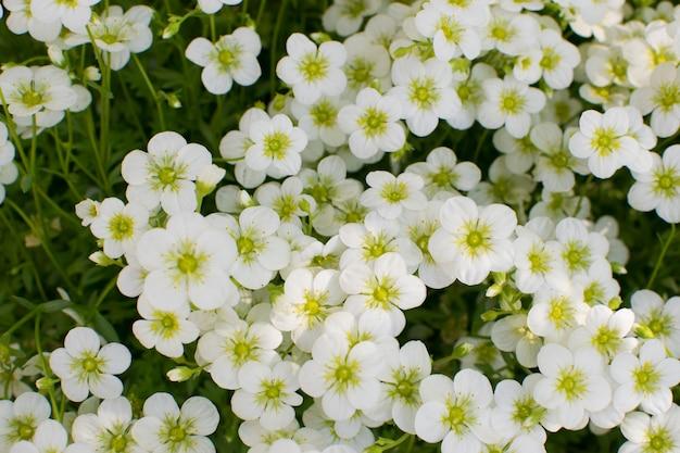 Belles fleurs de saxifraga paniculata