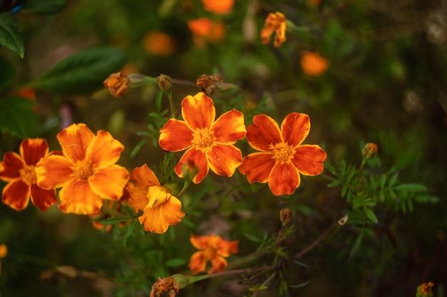 Belles fleurs soucis gros plan sur fond naturel vert