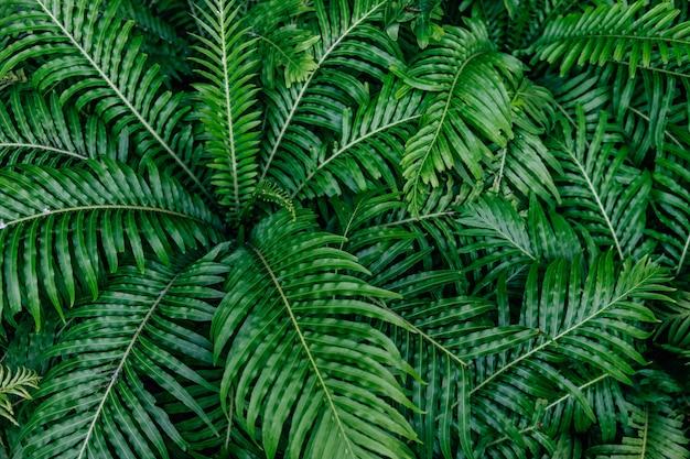 Belles fougères (blechnum x rasmijoti) feuilles vertes