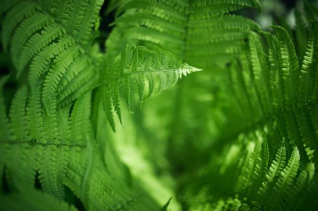 Belles fougères feuilles feuillage vert fougère florale naturelle