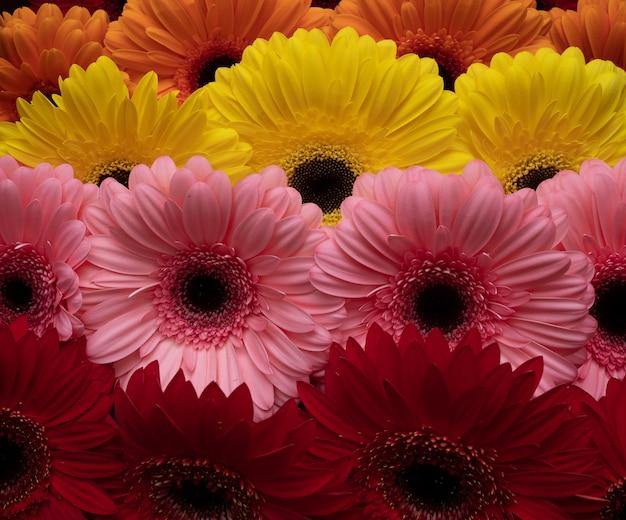 Belles gerberas de fleurs de différentes couleurs, disposées en rangées droites. fond floral.