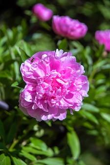 Belles grandes fleurs de pivoine rouge en fleurs dans le jardin de printemps
