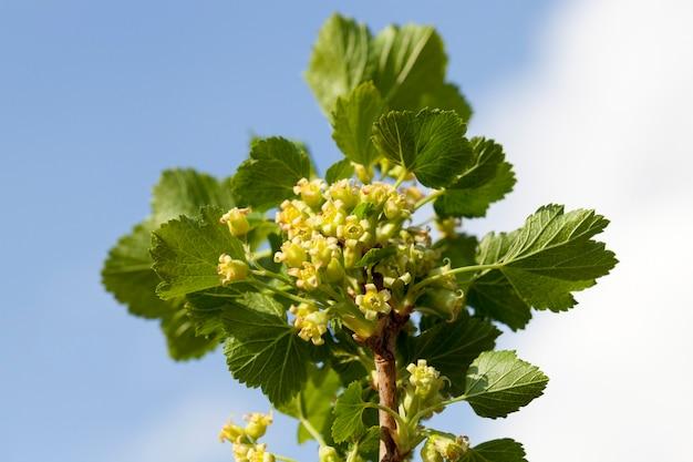 Belles jeunes pousses de cassis avec des fleurs vertes au printemps, détails de la plante donnant les baies pendant la croissance active par temps chaud, contre un ciel bleu avec des nuages