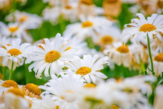 Belles marguerites dans le jardin en été se bouchent