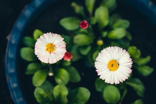 De belles marguerites avec de riches feuilles vertes poussent dans le lit de la fleur bleue se bouchent. petites fleurs blanches avec du pollen jaune et des pétales aux pointes roses en macro avec fond sur un sol noir. bourgeons rouges de marguerite
