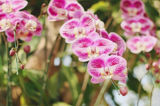 Belles orchidées roses qui fleurissent dans le jardin.