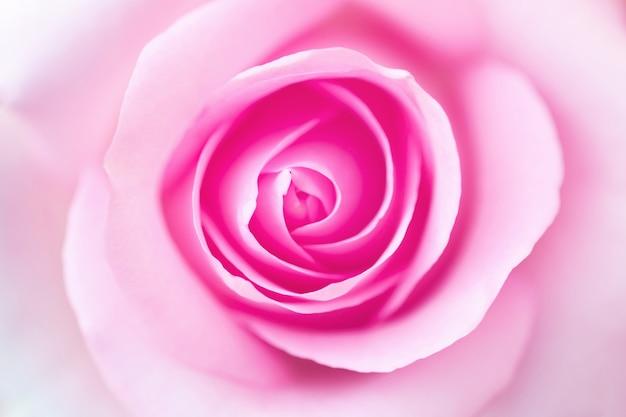 Belles pétales de fleurs roses colorées close up macro