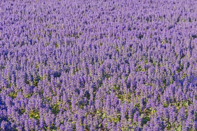 Belles petites lavandes violettes dans le fond du champ