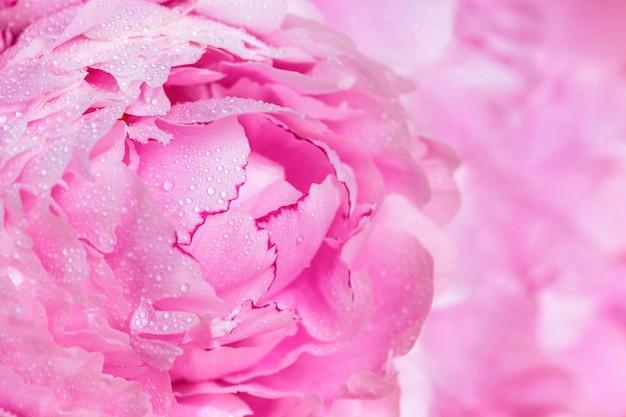 Belles pivoines roses. concept de fleurs de printemps.