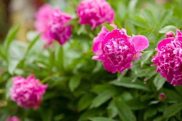 Belles pivoines roses en fleurs dans le jardin