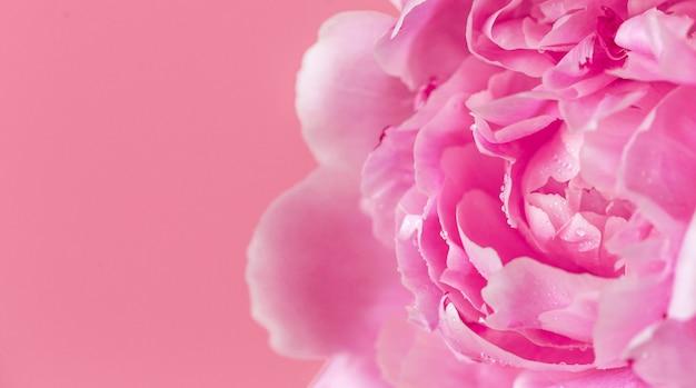Belles pivoines roses sur la surface rose. concept de fleurs de printemps.