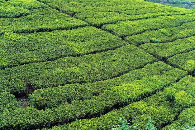 Belles plantations de thé des highlands au sri lanka